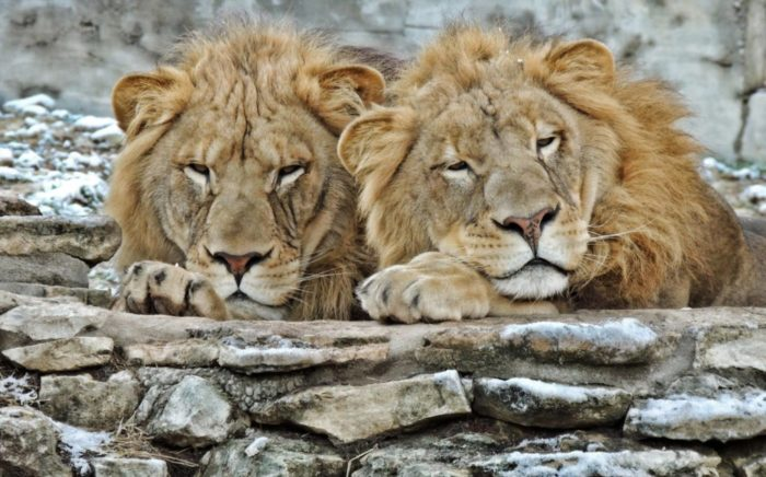two lions resting at the zoo
